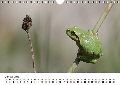 Besucher im Garten - Laubfrösche (Wandkalender 2019 DIN A4 quer): Laubfrösche - Grüne Freunde und sommerliche Begleiter (Monatskalender, 14 Seiten ) (CALVENDO Tiere)